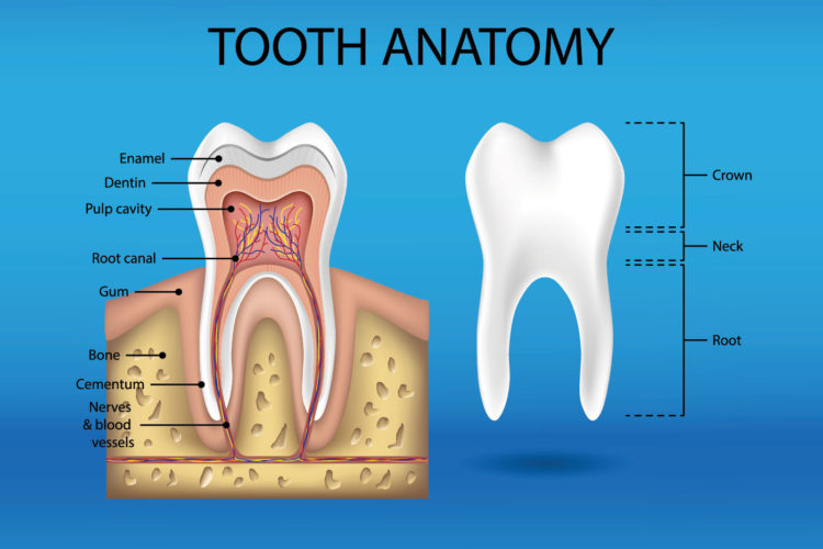 Tooth anatomy infographics